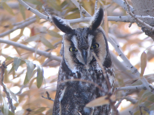 Long-eared Owl - An Antelope Valley Backyard bird!