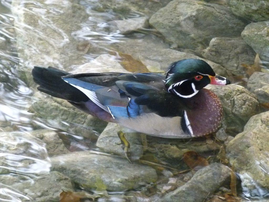 Wood Duck-M